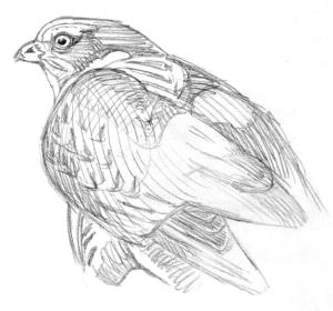 Varpushaukkanaaras