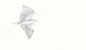 Harmaahaikara lennossa Purolahdella
