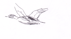 Isokoskelokoiras lennossa
