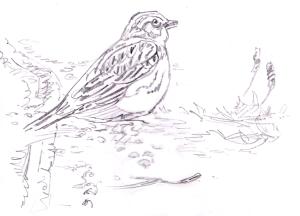 Kiuru laulaa peltotien reunassa