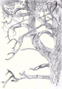 Männyn oksia Hakalassa