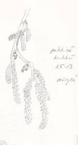 Pähkinä kukkii, Mölylä 1.5.2013