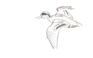Tavikoiras lentää