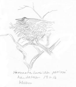 harmaahaikara hautoo, 19.4.2016
