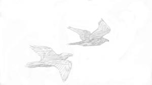 korppi ahdistelee kanahaukkaa