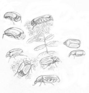 kuparikuoriainen