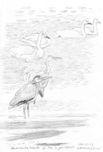 laulujoutsenia-ja-harmaahaikaroita