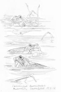 sammakot kurnuttavat, 13.4.2016