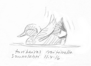 Tavikoiras soitimella, Saunalahti 11.4.2016