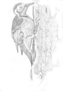 valkoselkätikkanaaras haavalla