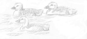 merihanhen poikaset, 10.5.2016