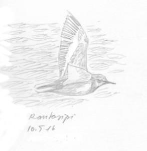 rantasipi lentää, 10.5.2016
